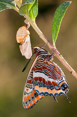 Newly emerged adult Two-tailed Pasha butterfly (Charaxes jasius) Podere Montecucco. Orvieto, Umbria, Italy August