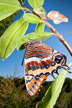 Newly emerged adult Two-tailed Pasha (Charaxes jasius) Podere Montecucco. Orvieto, Umbria, Italy August