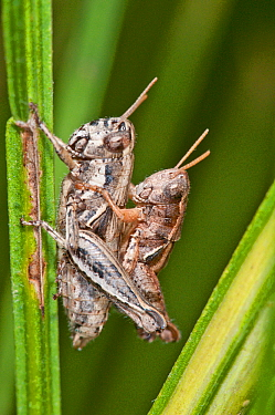 Short-horned grasshoppers (Calliptamus italicus) mating, showing sexual dimorphism, Pescia Romana, Tarquinia, Umbria, Italy, September