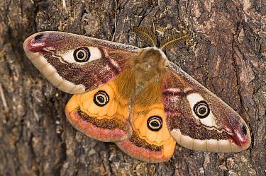 Emperor Moth (Saturnia pavoniella) male, on tree bark, Orvieto, Umbria, Italy, April