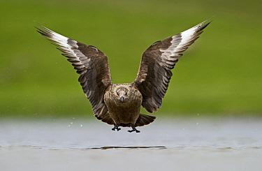 Great Skua (Stercorarius skua) in flight low over water, Fetlar, Shetland, June