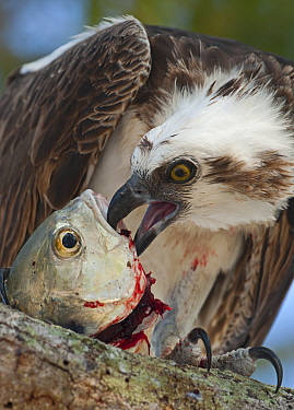 Osprey (Pandion haliaetus) eating fish Florida Everglades, USA