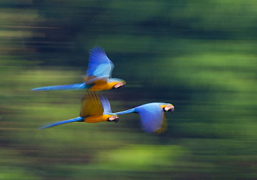 Blue and Yellow Macaws (Ara ararauna) in flight, Tambopata Amazon, Peru