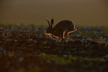 Brown Hare (Lepus europaeus) running, backlit in late evening, Norfolk, May