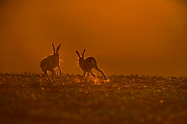 Brown Hare (Lepus europaeus) buck chasing doe, in late evening, Norfolk, May