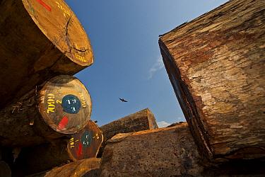 Common House Martin (Delichon urbicum) flying above pile of hardwood timber logs in storage depot. Lope National Park, Libreville, Gabon.