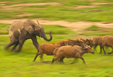 African Forest Elephant (Loxodonta africana cyclotis) juvenile chasing African Forest Buffalos (Syncerus caffer nanus). Dzanga Bai, Dzanga-Ndoki National Park, Central African Republic.