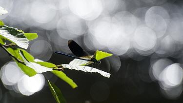 Banded Demoiselle (Calopteryx splendens) male, Finland, August