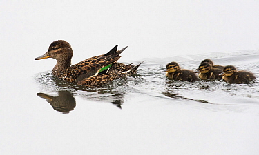 Common Teal (Anas crecca) female with ducklings, Finland June