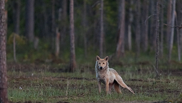 Grey wolf (Canis lupus) in forest at night, Finland, July
