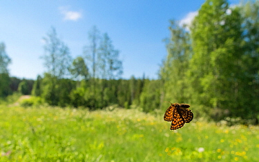 Heath Fritillary (Melitaea athalia) in flight, Finland June