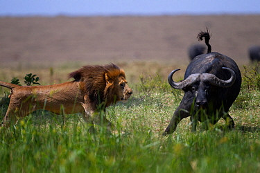 Male lion (Panthera leo) in confrontation with Cape buffalo (Syncerus caffer) Masai Mara National Reserve, Kenya