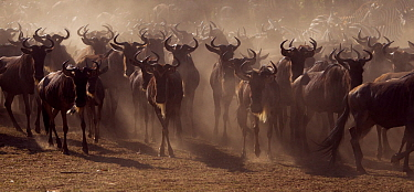 Eastern White-bearded Wildebeest (Connochaetes taurinus) herd on the move Masai Mara National Reserve, Kenya, July