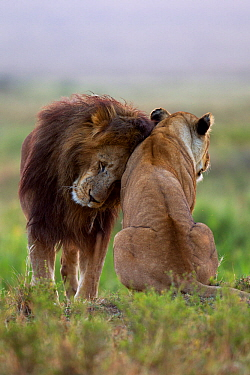 Lion (Panthera leo) male nuzzling lioness, Masai Mara National Reserve, Kenya, July