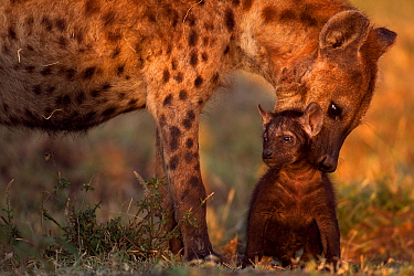Spotted hyena (Crocuta crocuta) preparing to carry a pup aged 2-3 months. Masai Mara National Reserve, Kenya, July