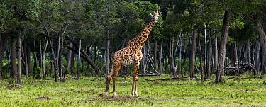 Masai giraffe (Giraffa camelopardalis tippelskirchi)male in front of woodland, Masai Mara National Reserve, Kenya, July