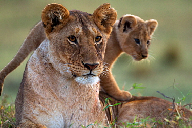 Lioness (Panthera leo) with cub aged 2-3 months portrait. Masai Mara National Reserve, Kenya, August
