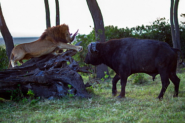 Male lion (Panthera leo) in confrontation with Cape buffalo (Syncerus caffer). Masai Mara National Reserve, Kenya, July