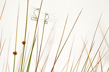 Two pairs of Small spreadwings (Lestes virens) egg depositing in the soft rush in fen, Hondeven, east Holland, August
