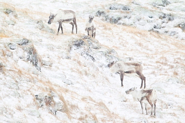 Reindeer (Rangifer tarandus) group grazing in the snow, near Hofn, Iceland, February