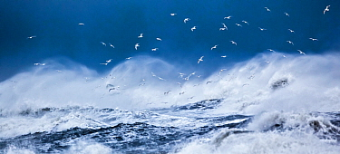Gulls, predominantly Iceland gulls (Larus glaucoides) flying above stormy ocean  near Vik, Iceland, March 2012.