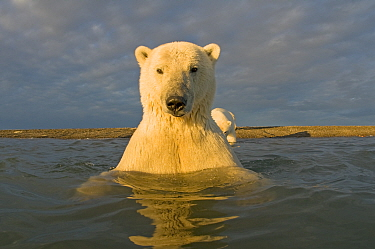 Polar bear (Ursus maritimus) curious young 2-year-old in water off a barrier island, its mother on the beach, Bernard Spit, 1002 area of the Arctic National Wildlife Refuge, North Slope, Alaska