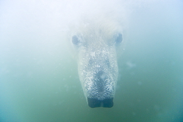 Polar bear (Ursus maritimus) curious adult head underwater, Beaufort Sea, off the 1002 area of the Arctic National Wildlife Refuge, North Slope, Alaska.
