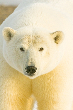 Polar bear (Ursus maritimus) portrait, female. Bernard Spit, 1002 area of the Arctic National Wildlife Refuge, North Slope, Alaska.
