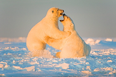 Polar bear (Ursus maritimus) 3-year-olds play fighting on newly formed pack ice, Beaufort Sea, off the 1002 area of the Arctic National Wildlife Refuge, North Slope, Alaska