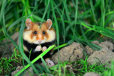 Common hamster feeding (Cricetus cricetus)  Alsace, France, April, captive