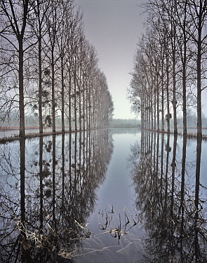 Two  rows of poplar (Populus sp.) trees relected in in flood water, during the  floods of the River Oise, Picardy, France, january 2008