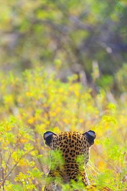 Leopard (Panthera pardus) back of head, Samburu National Reserve, Kenya