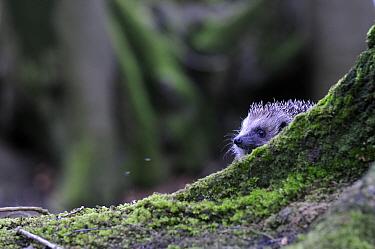 Hedgehog (Erinaceus europaeus) in woodland, Devon, England, UK, April. Captive.