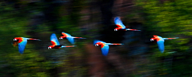Group of Red-and-Green Macaws or Green-winged Macaws (Ara chloropterus)  in flight over forest canopy. Chapada dos Guimaraes, Brazil.