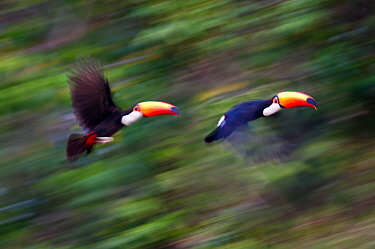 Toco Toucans (Ramphastos toco) taking flight from the forest canopy. Banks of the Cuiaba River, northern Pantanal, Mato Grosso, Brazil.