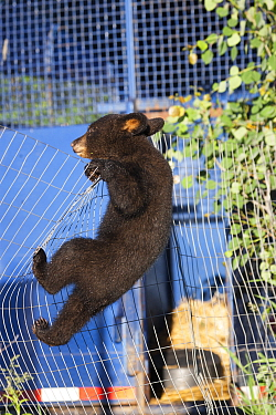 Black bear (Ursus americanus) cub climbing a fence, Minnesota, USA, May.
