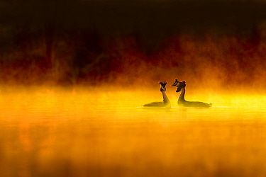 Great crested grebe (Podiceps cristatus) pair performing courtship display at dawn, backlit with surrounding by mist, Cheshire, UK, March