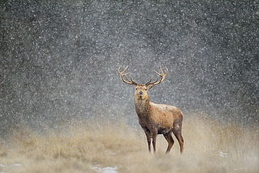 Red deer stag (Cervus elaphus) in heavy snow, Cheshire, UK, March