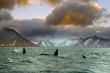Orcas (Orcinus orca) pod feeding on herring, wide shot showing surrounding landscape, Iceland, January 2013