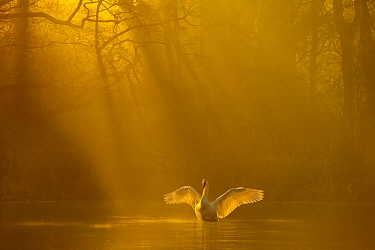 Mute swan (Cygnus olor) stretching its wings backlit at dawn, Poynton, Cheshire, UK, December