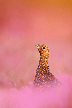 Red grouse (Lagopus lagopus scotica) sitting in flowering heather, Peak District, UK, September