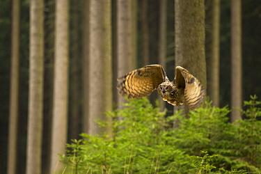 Eurasian Eagle owl (Bubo bubo) in flight through dense forest, Czech Republic, January