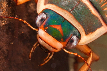 Great diving beetle (Dytiscus marginalis) portrait, Europe, September, controlled conditions