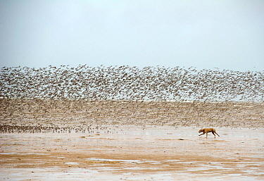 Dog chasing and disturbing a flock of Knot (Calidris canutus) on a beach, Hoylake, Wirral