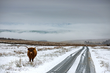 Highland cow next to road above Malham, Yorkshire, winter.