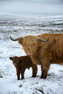 Highland cow with calf on moorland in snow above Malham, Yorkshire, winter.