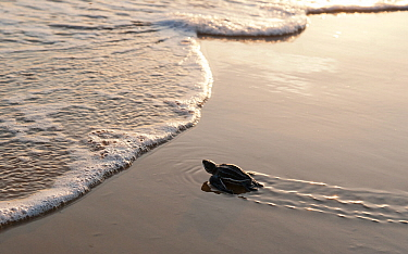 A hatchling Leatherback Turtle (Dermochelys coriacea) nearing the waters edge, Cayenne, French Guiana