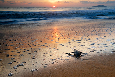 Leatherback Turtle Hatchling (Dermochelys coriacea) crossing a beach towards the sea at sunrise, Cayenne, French Guiana, July