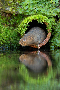 Water Vole (Arvicola amphibius) emerging from pipe at side of river, Kent, UK, December