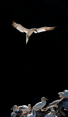 Gannet (Morus bassanus) adult, backlit by the morning sun, coming in to land in colony, Shetland Islands, Scotland, UK. September